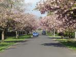 Beautiful blossom trees line the streets of Helensburgh in Spring