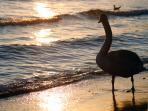 Swan at winter sunset, Varna beach