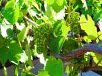 Grapevines - indigeneous plant, piece of heritage that you can taste