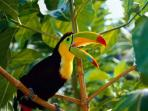 Colorful toucan calling to his friends.