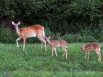 Bambi can  be seen at Dawn and Dusk