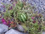 Melons grown outside the door in the garden… they tasted so sweet.