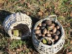 PECAN HARVEST IN THE WINTER