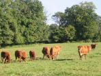 Limousin cattle - steaks for the barbeque?