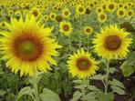 Sunflowers - symbol of The Charente