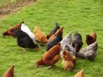 Some of our free range hens providing you with eggs