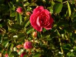 Stunning pink wild rose at Gadlys Farmhouse