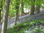 May bluebells in the woodland walk near The Stable & The Sheepfold