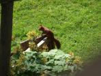 one of gorgeous red squirrels