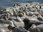 Ambers Point Of View - Alsea Bay Seals close up