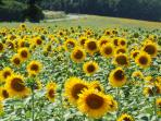 Stunningly vibrant sunflowers in the nearby fields..