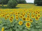 Sunflowers smile their Summer Welcome