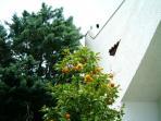 Oranges in the Garden