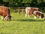 longhorn cows in the adjoining paddock