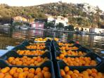 Back to picking tangerines with our plantation