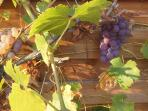 Juicy grapes from our vines