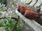 A trio of hens catching the sun. Free range eggs are plenty during spring and summer