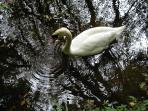 Barrow swan