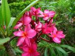 Fangipani in bloom