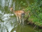 A resident deer paddling in the lake!