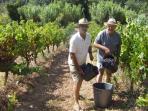 Grape harvest in September