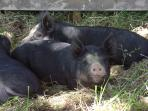Rare breed Berkshire pigs