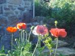 Outside the French doors, Poppies in June