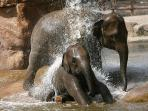 Elephants bathing at Chester Zoo