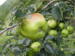 Our orchard, which sits overlooking the tennis court is truly beautiful & houses all apple varieties