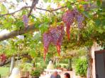 Grapes hang over the terrace.