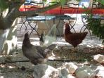 Chickens hanging out at the Mas dining area