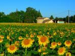 Nearby fields of sunflowers in July
