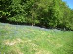 Feeling blue - bluebells carpet the woodlands above Porth-y-Parc