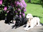the house labradors on the terrace