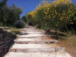 Wide steps through lavender trees and  mediterranean brooms from the swimming pool to the house