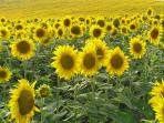 Beautiful charantais sunflowers, often in the field above the pool