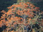 Finca Pura Vida: Poró-Baum in der Blüte