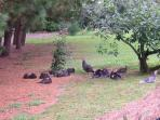 wild turkeys like to come and visit, you can hear the local birds dusk till dawn.