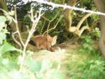Fox Cub outside it's den at Kemphill Farm