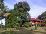 The huge mango tree