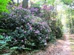 forêt de rhododindrons