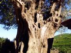 ulivo pluri secolare nel giardino