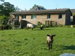 Adjoining paddock; home to friendly sheep, lambs pygmy goats and pigs