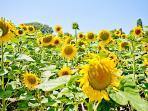 Stunning sunflower fields of the Charente