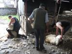 Shearing time on the farm