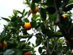 The citrus grove is protected by high walls, but guests are free to explore and taste the fruits.
