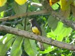 Citreoline Trogon (seen from the casa)