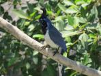 Black-Throated Magpie Jay (seen from the casa)
