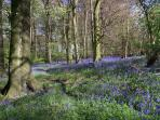 Acres of stunning Spring bluebells in nearby Aston Wood