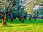 You'll see olive groves galore